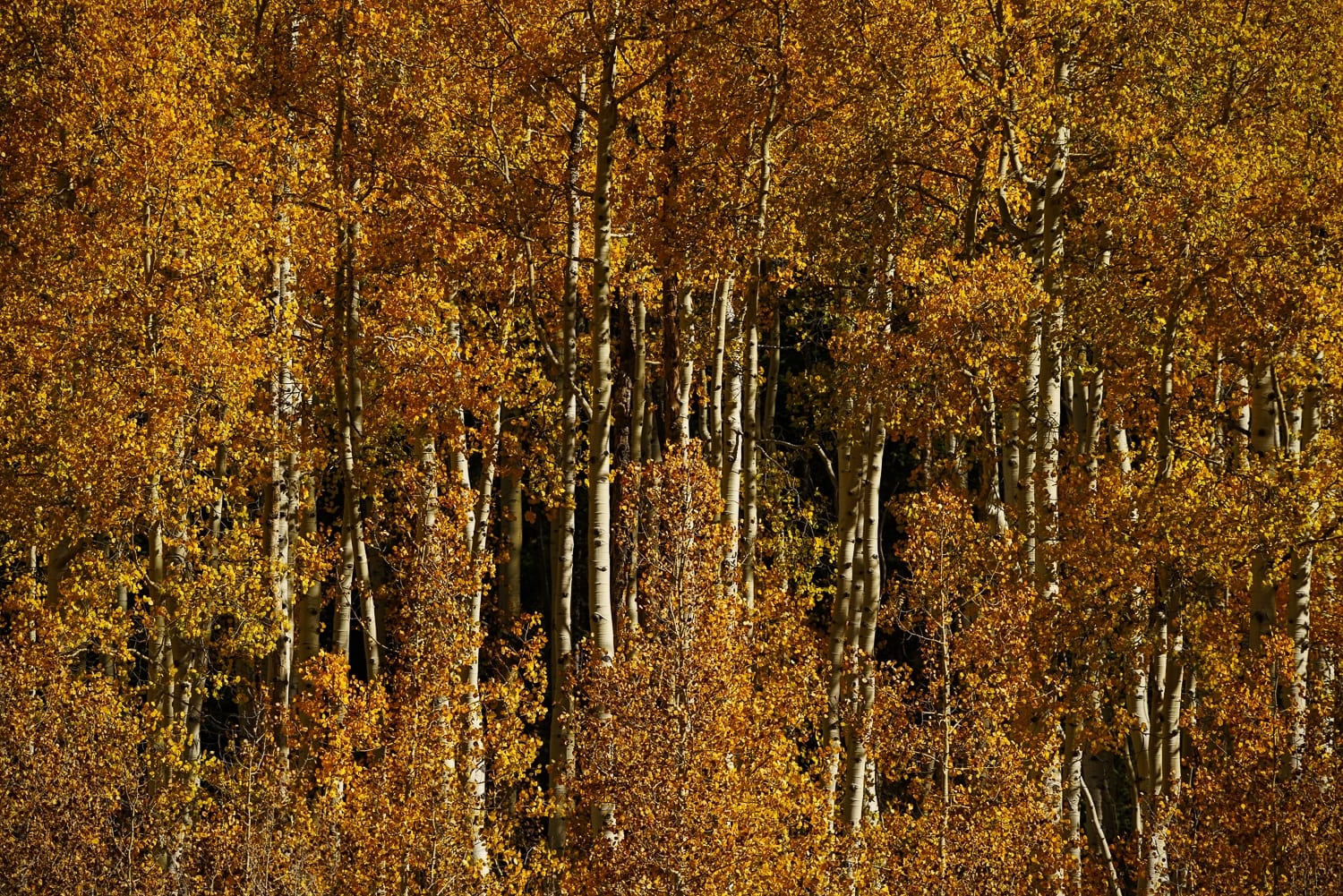 A close-up shot of a grove of aspen that have turned from the gold of fall to almost brown, resembling the color of chocolate baking squares.