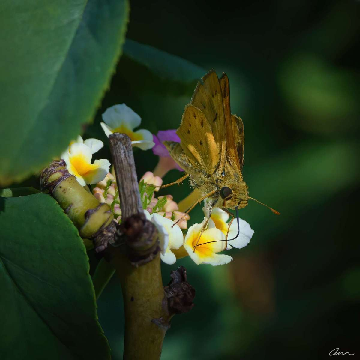 A close up of the Fiery Skipper's proboscis inserted into a flower.