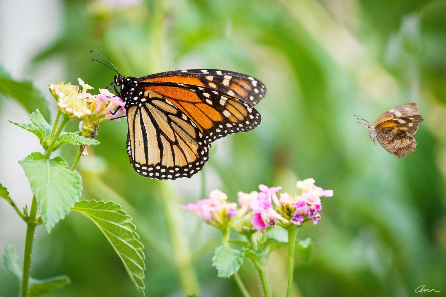 A cute little American Snout butterfly is like a Court Jester to the royalty of the Monarch butterfly.