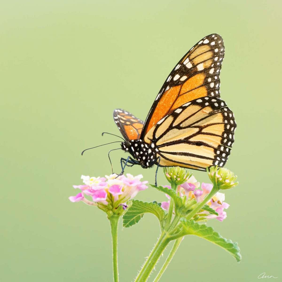Such a pretty sight to see a Monarch feeding. True royalty.