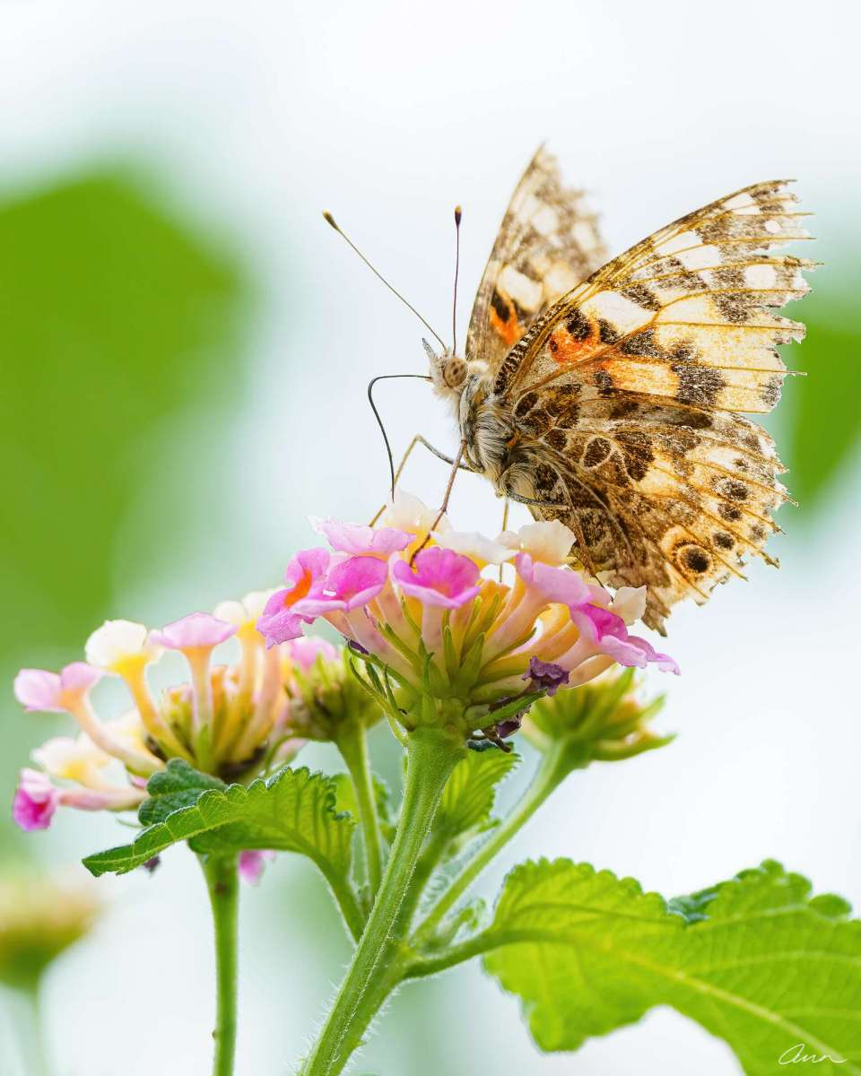 A Painted Lady butterfly sticks its proboscis into a lantana flower for nectar. Drilling for nectar.