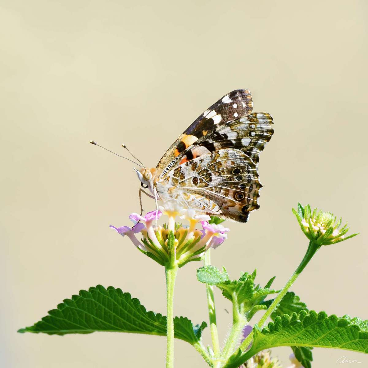 A Painted Lady sits pretty on lantana flowers. The wings on this butterfly are in great shape.