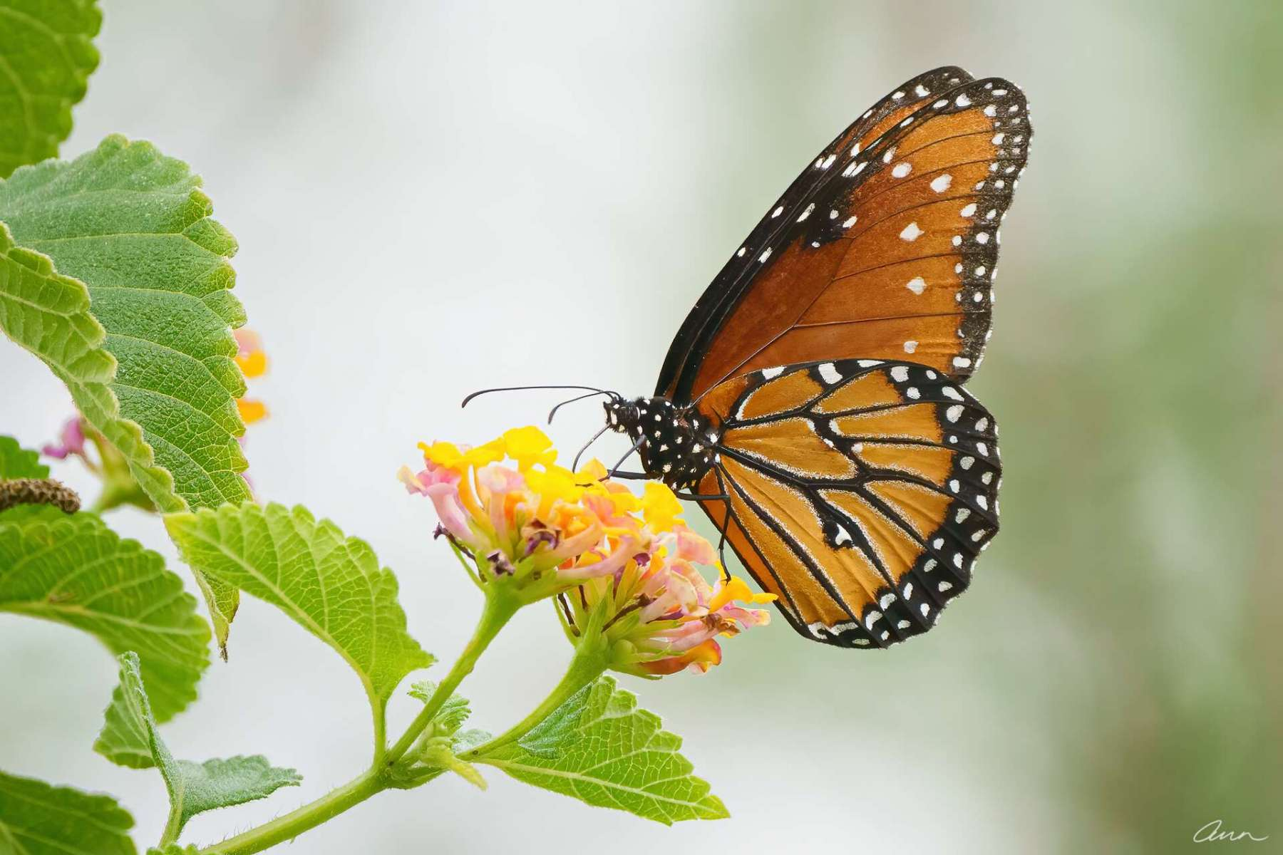 This Queen butterfly is often confused with Monarchs. Imitation is flattery, right?