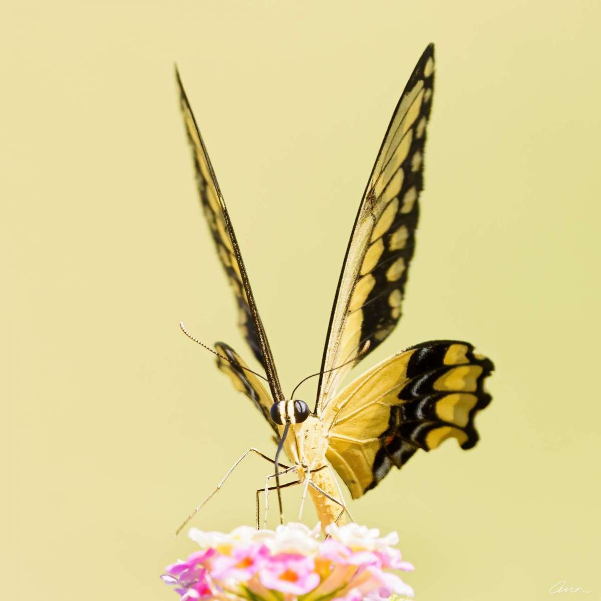 Front and center of a Western Giant Swallowtail gives you perspective on how large the wings spread out.