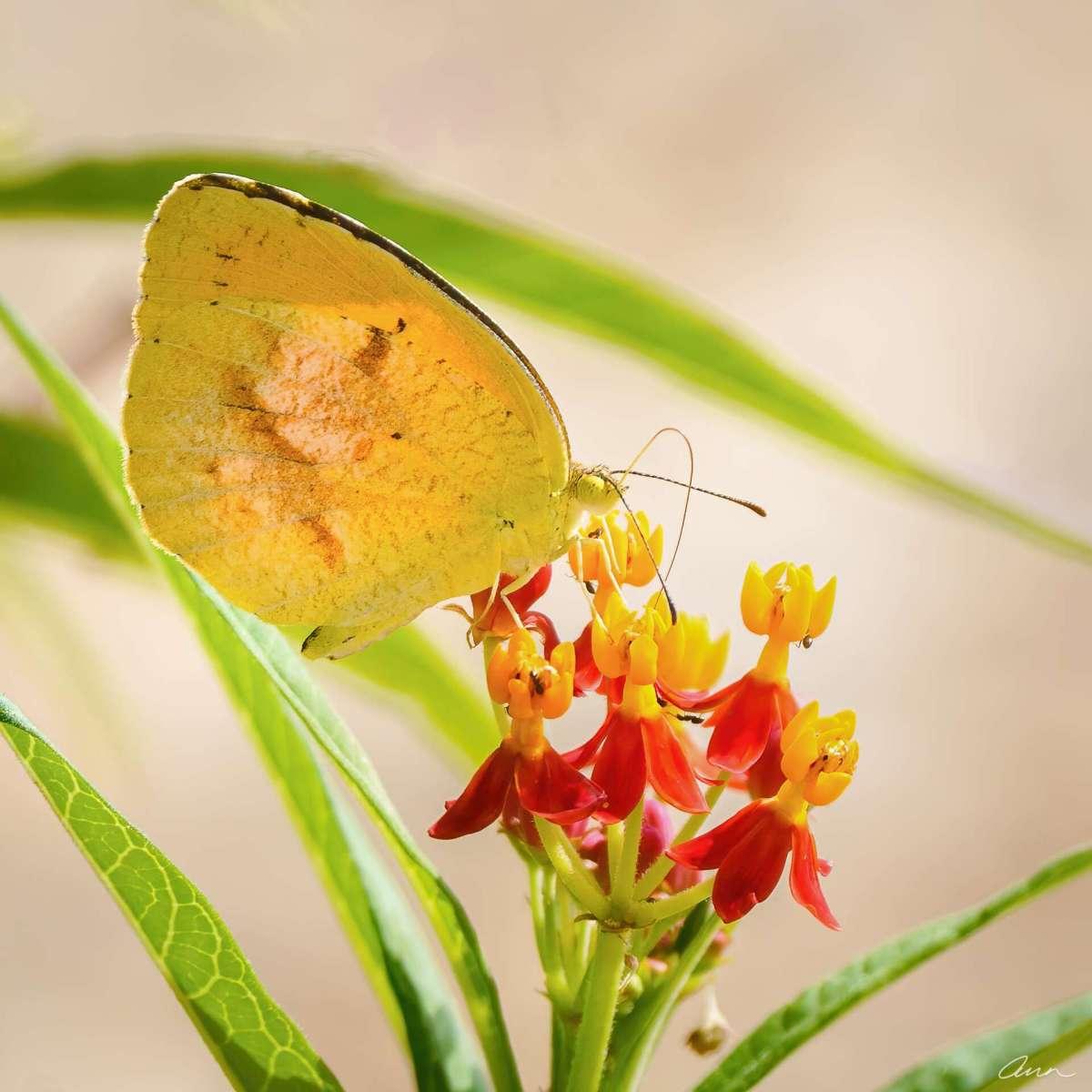 A sleepy orange butterfly takes advantage of milkweed nectar.