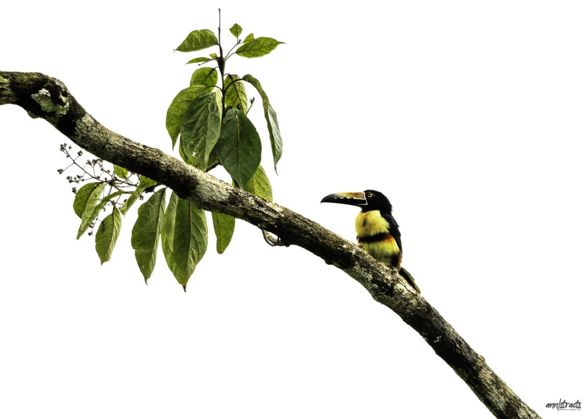 A colorful Collared Aracari Toucan. perched in a tree in Costa Rica.