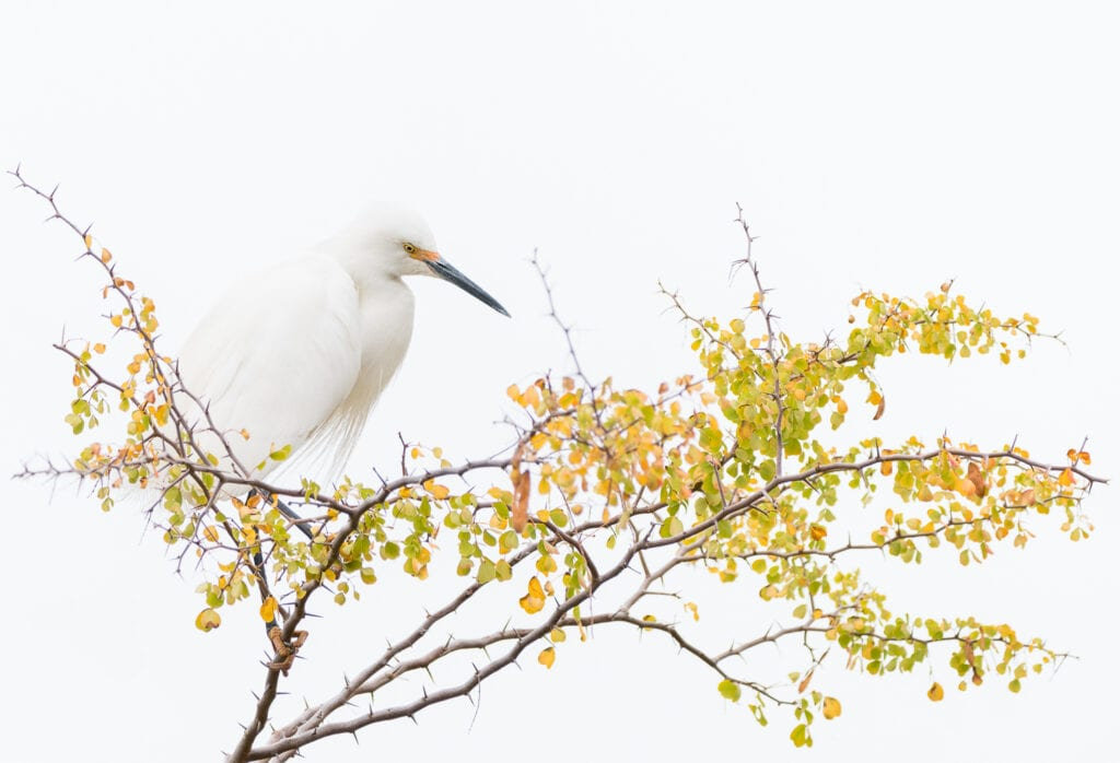 A single snowy white egret waits watchfully in a tree top with focus. Zen-like clean setting symbolizing a clear mind.