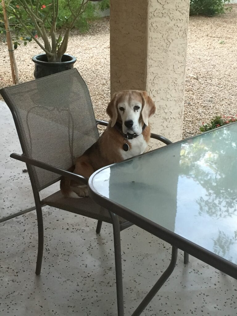 My dog Macy sitting at the patio table, waiting to be served. She was always a comic relief to me and taught me unconditional love.