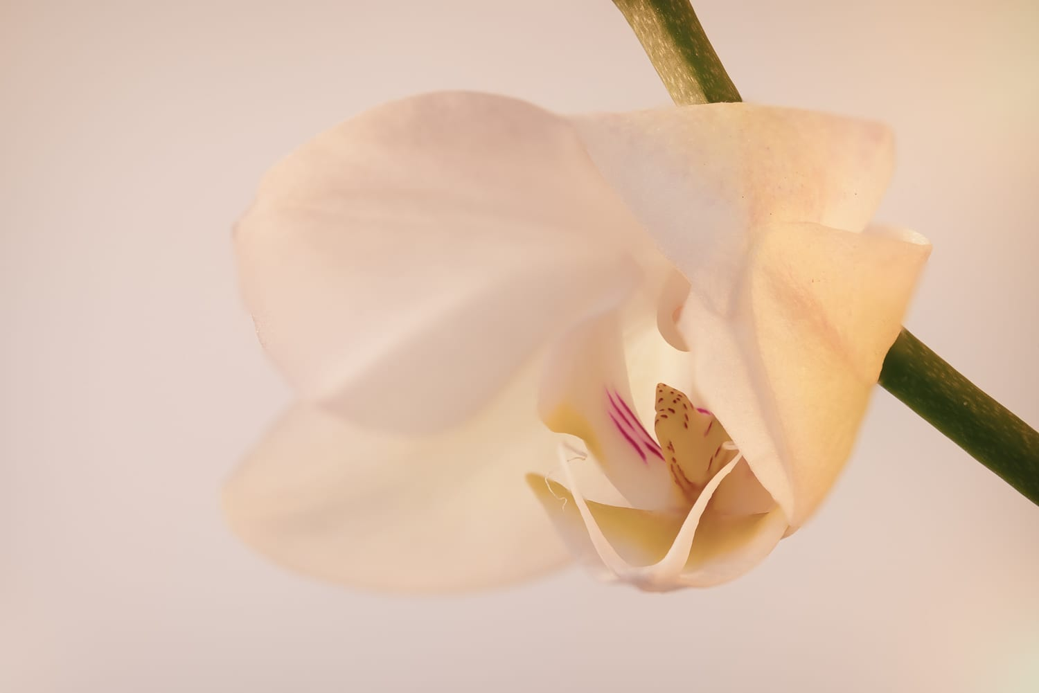 White orchid bud opening