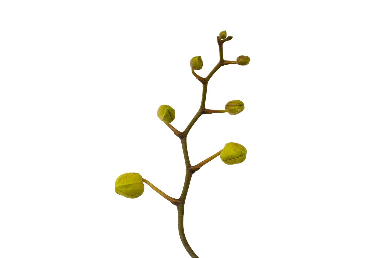 Orchid flower stem
