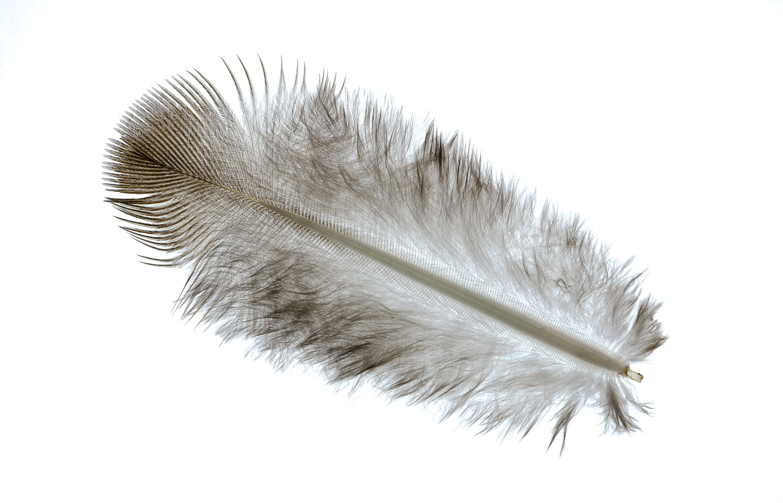 Feather macro photo