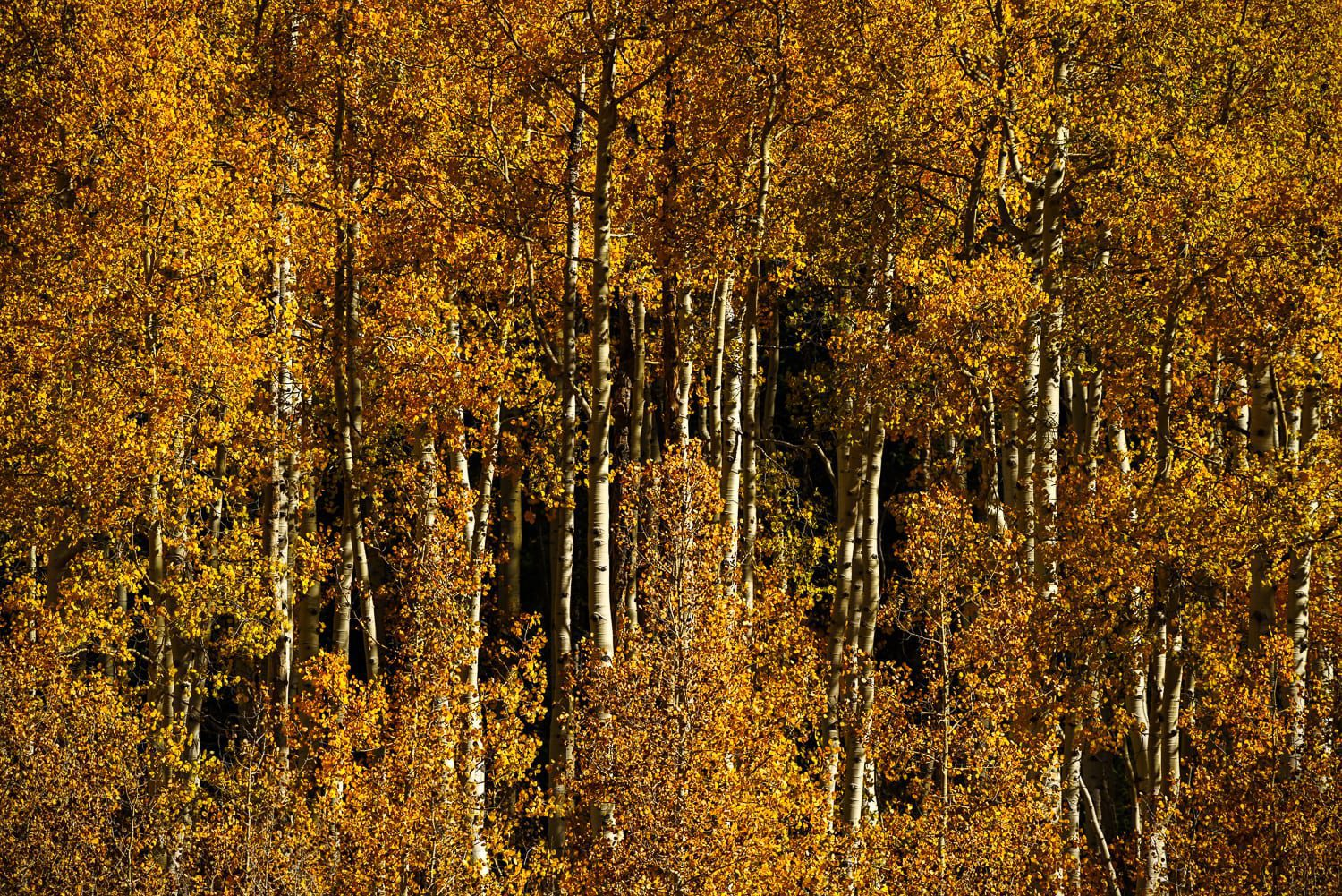 Orange colored aspen scene