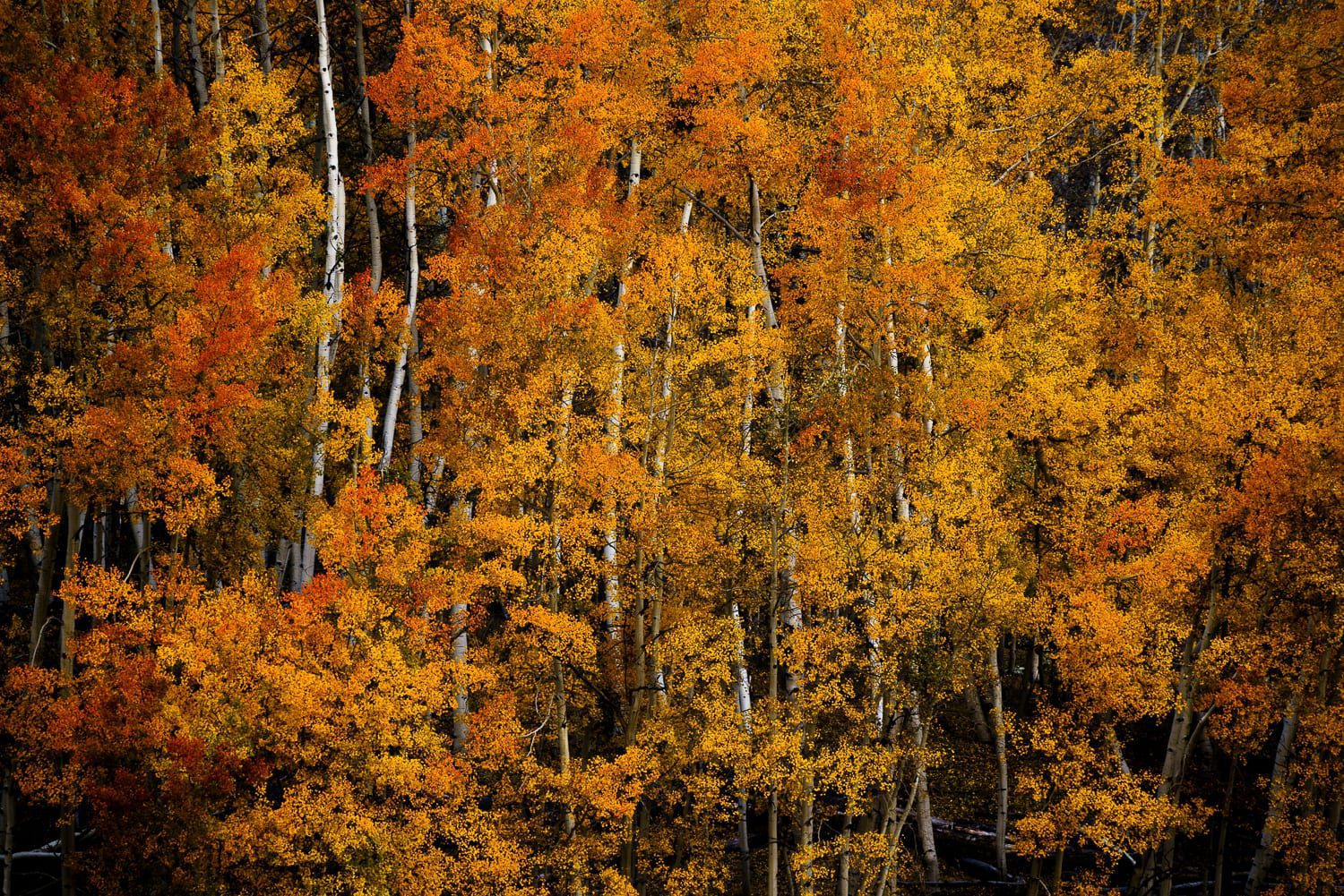 Close image of orange aspen trees