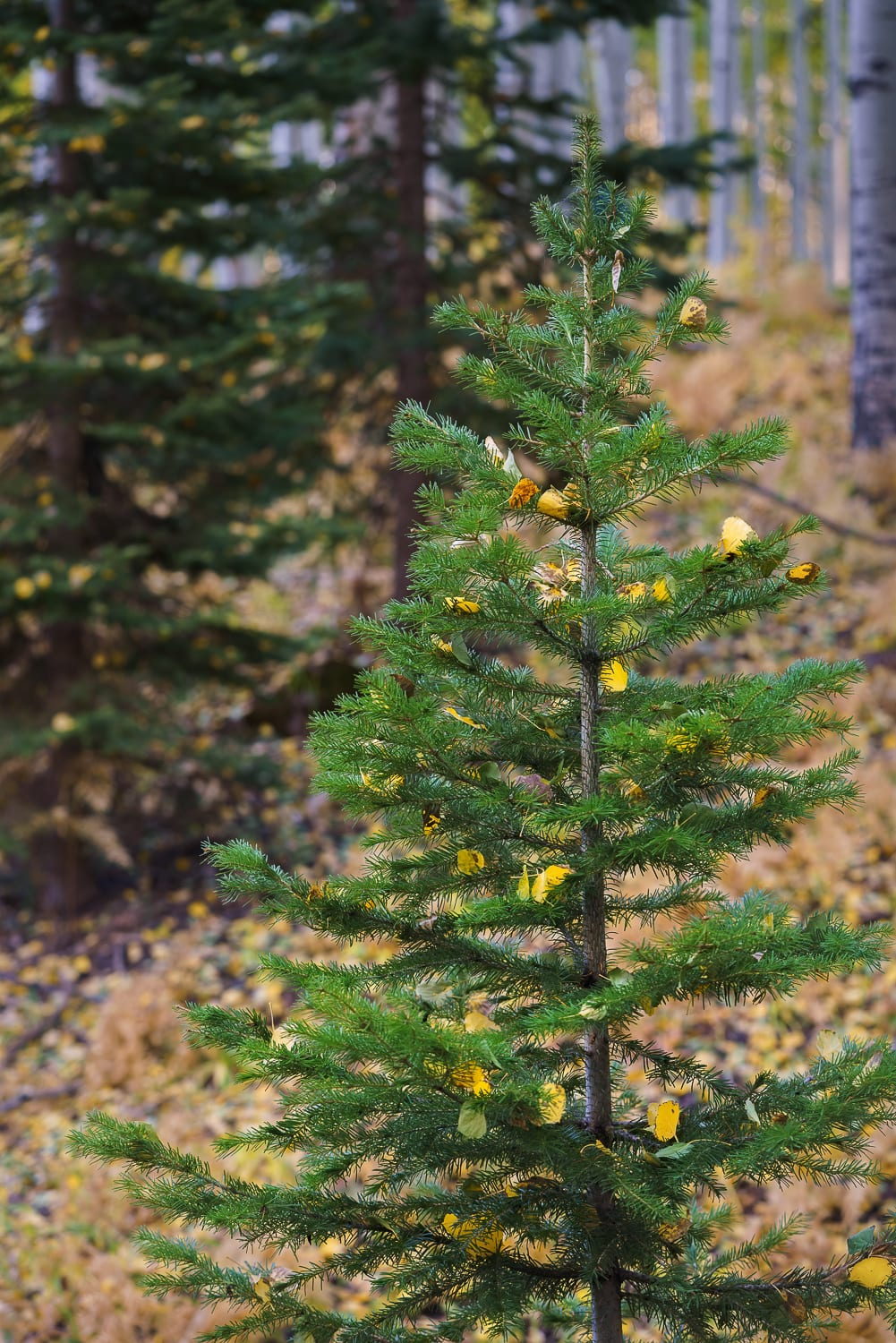 Small pine tree with aspen leaves on the branches.