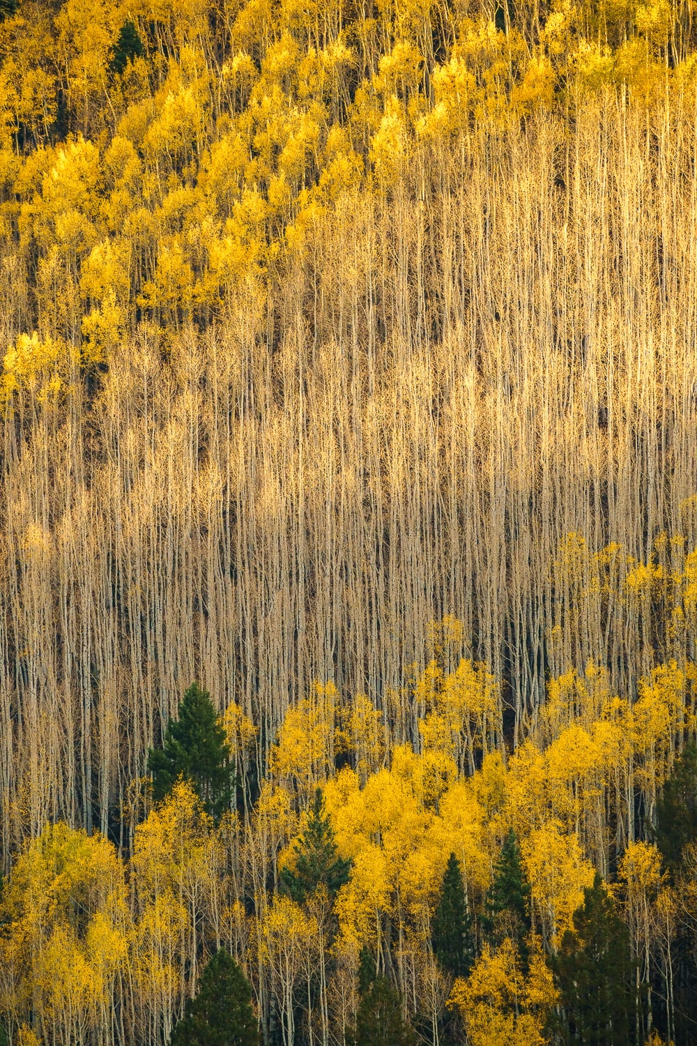 Stand of aspen, some with yellow leaves, some without.