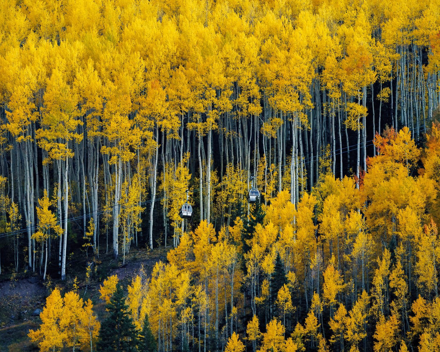 Ski lift gondolas in the middle of yellow aspens.