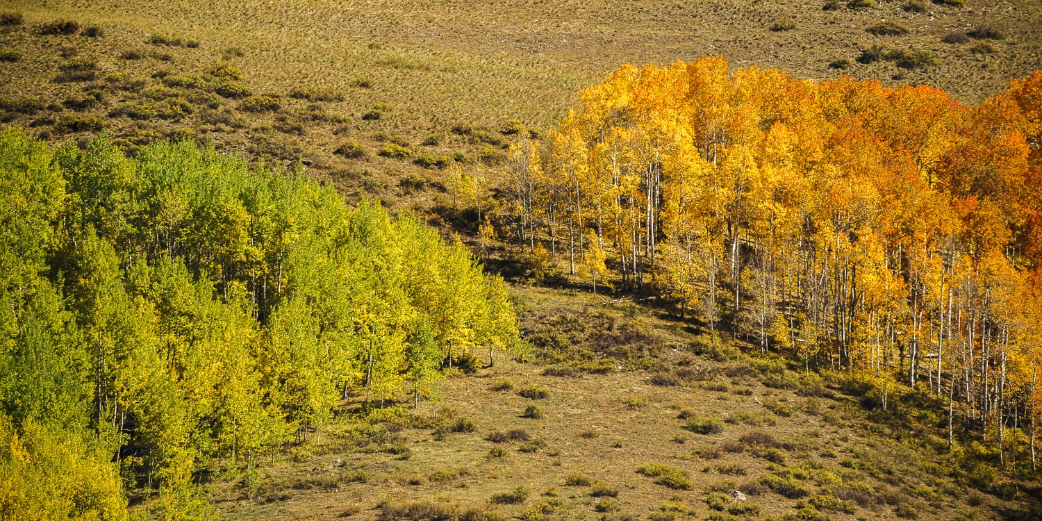 An orange and green grove of aspens coming together.