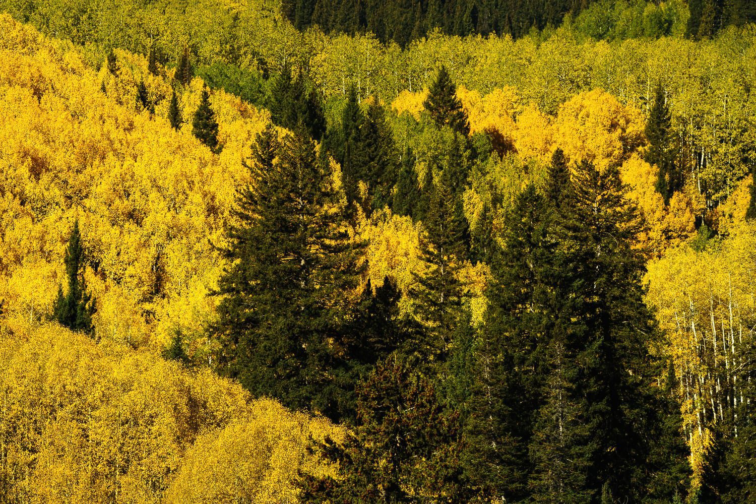 Pine trees and yellow aspens line a mountainside
