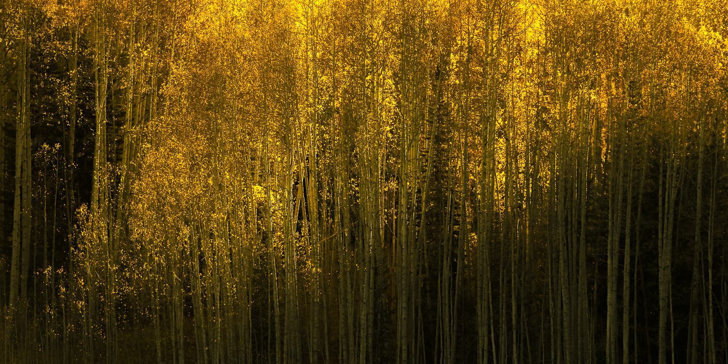 Yellow aspens lit with sunlight.