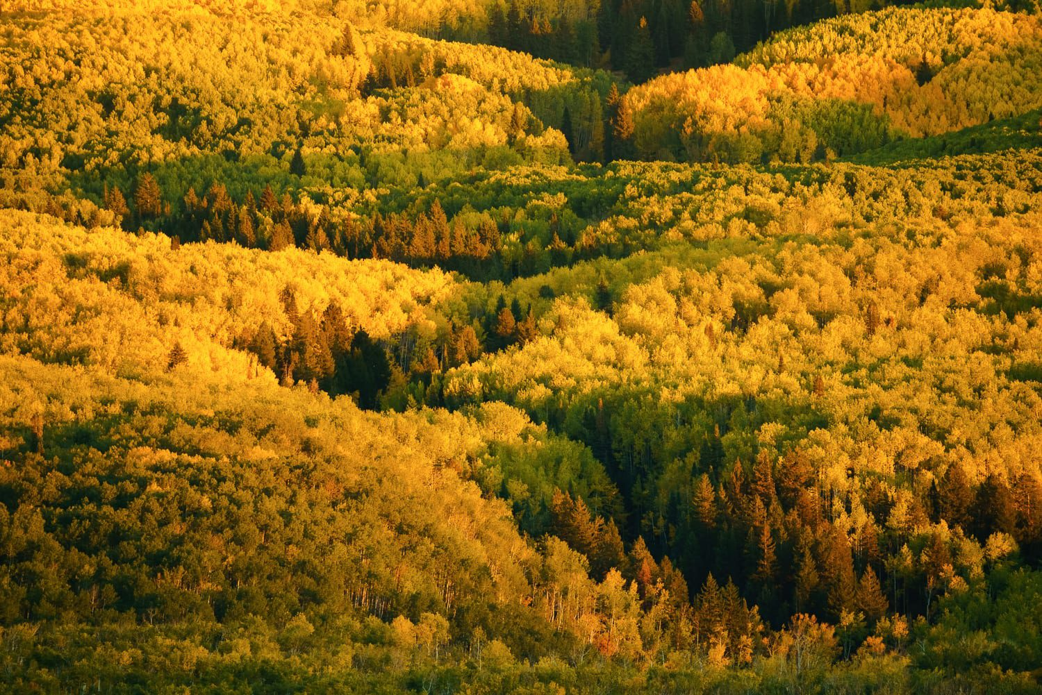 A line of pine trees surrounded by yellow aspens.