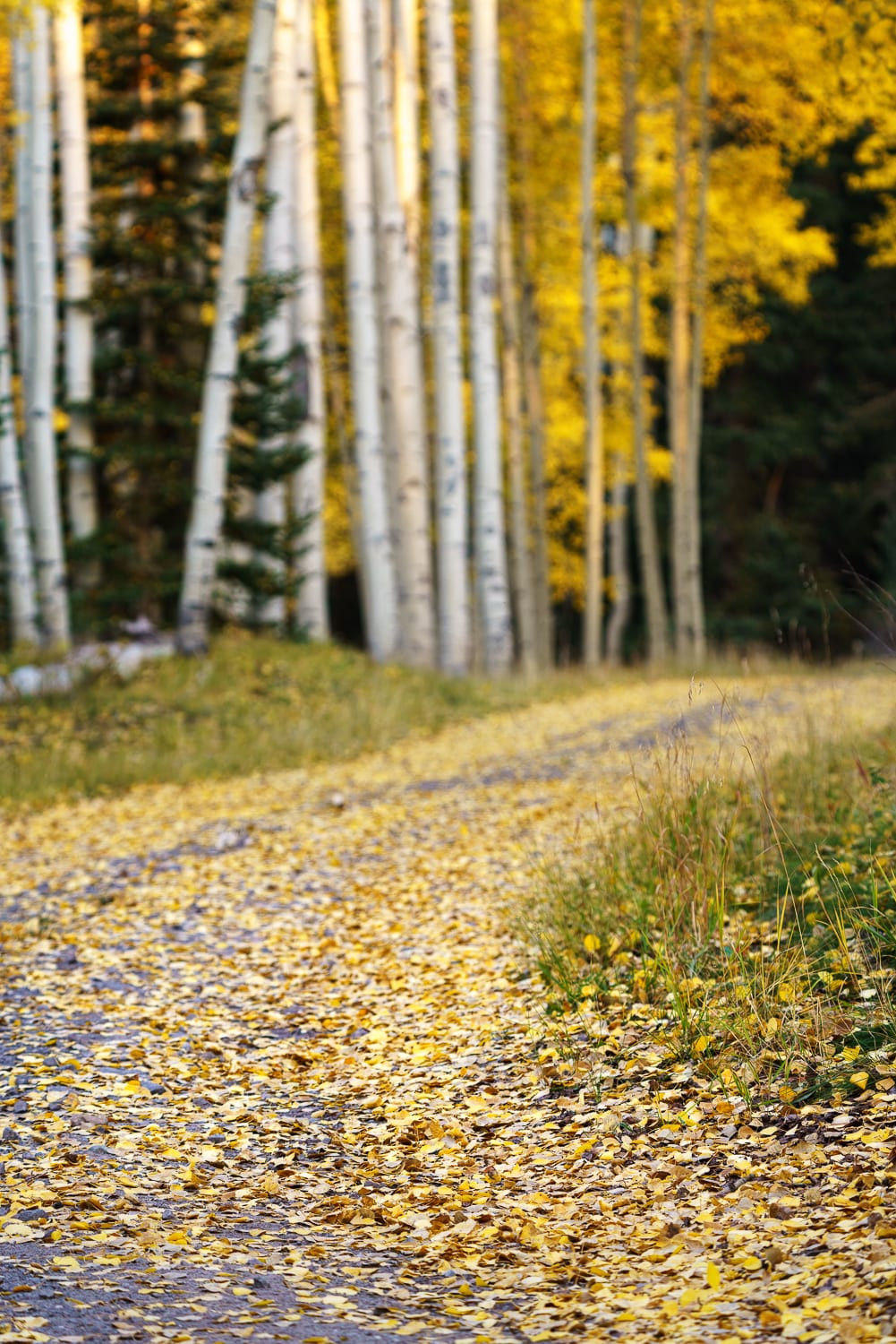 A leaf-covered road through aspen trees