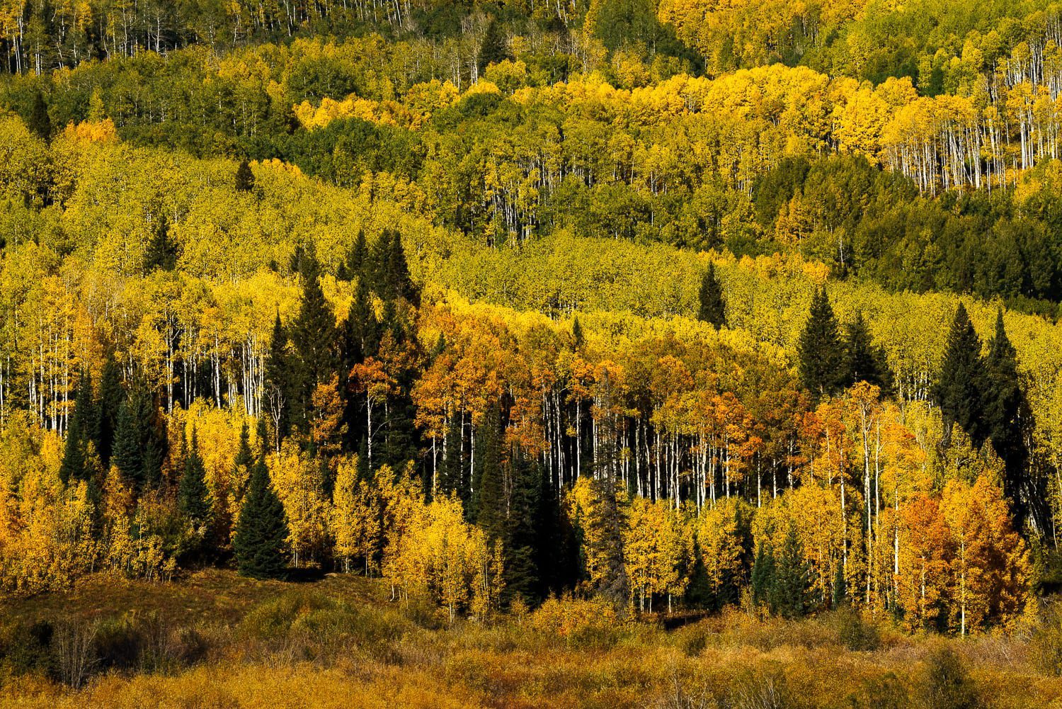 A section of aspens in orange and yellow fall colors with pine trees.