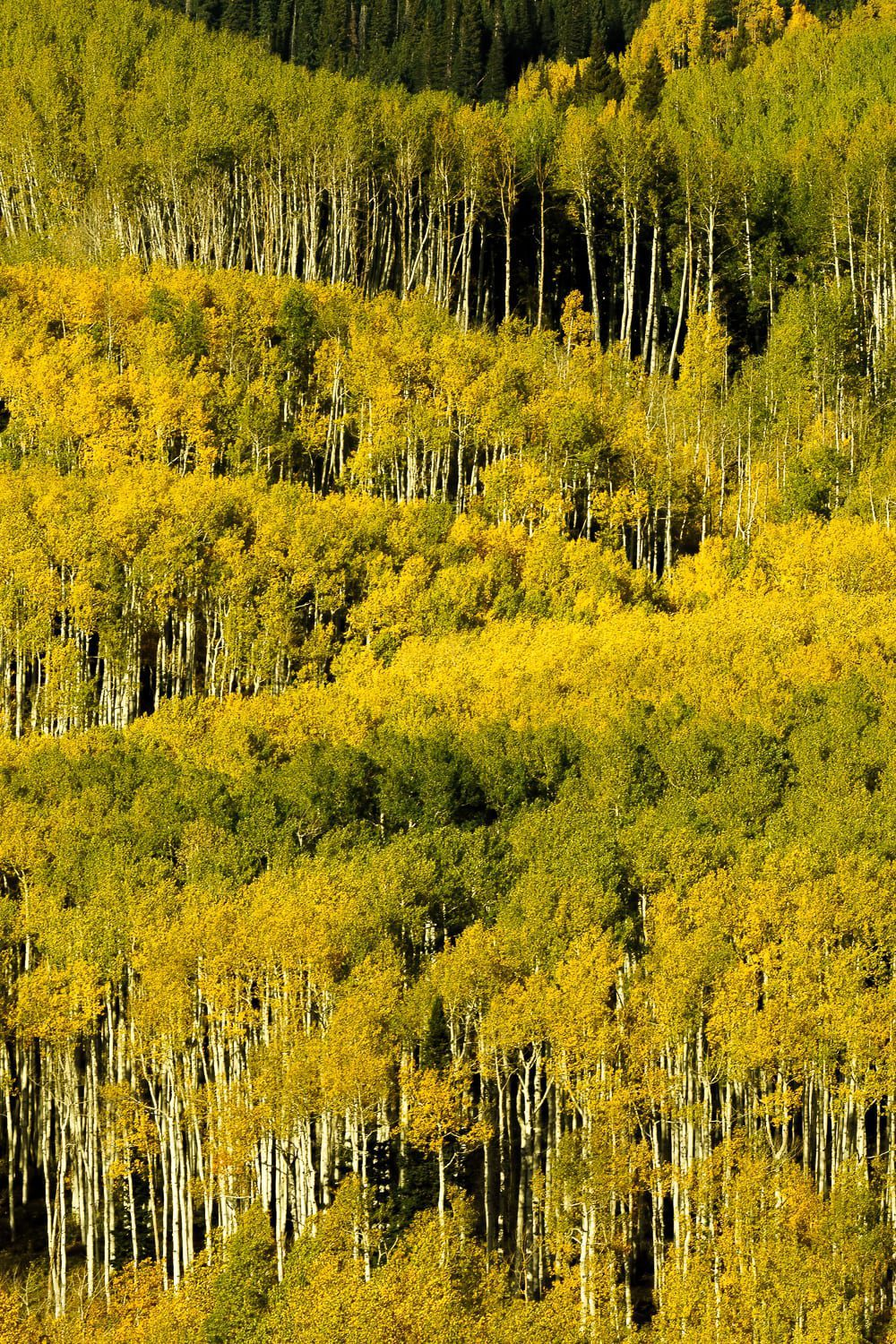 Layers of green and gold aspen along with pine trees on a mountainside.