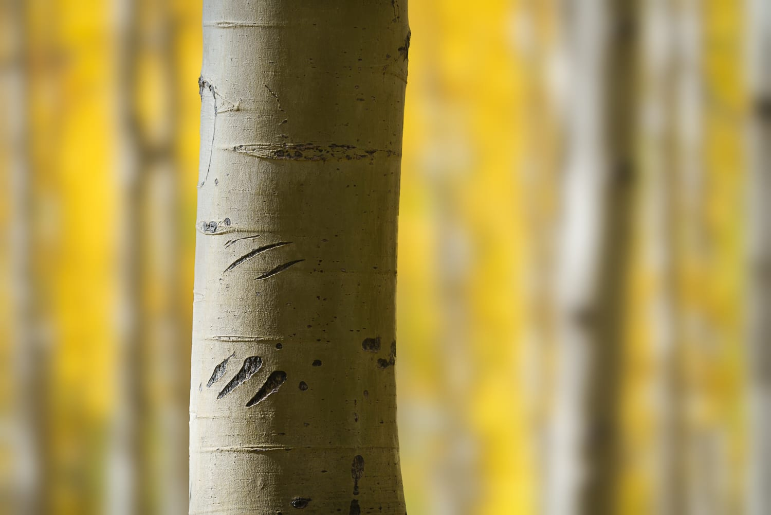 Bear claw marks on an aspen tree trunk.