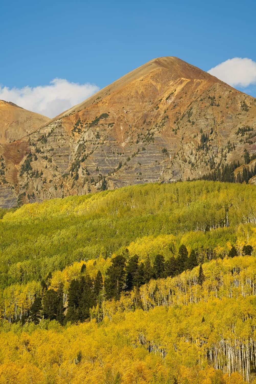 Pine trees and yellow aspen on Kebler Pass.
