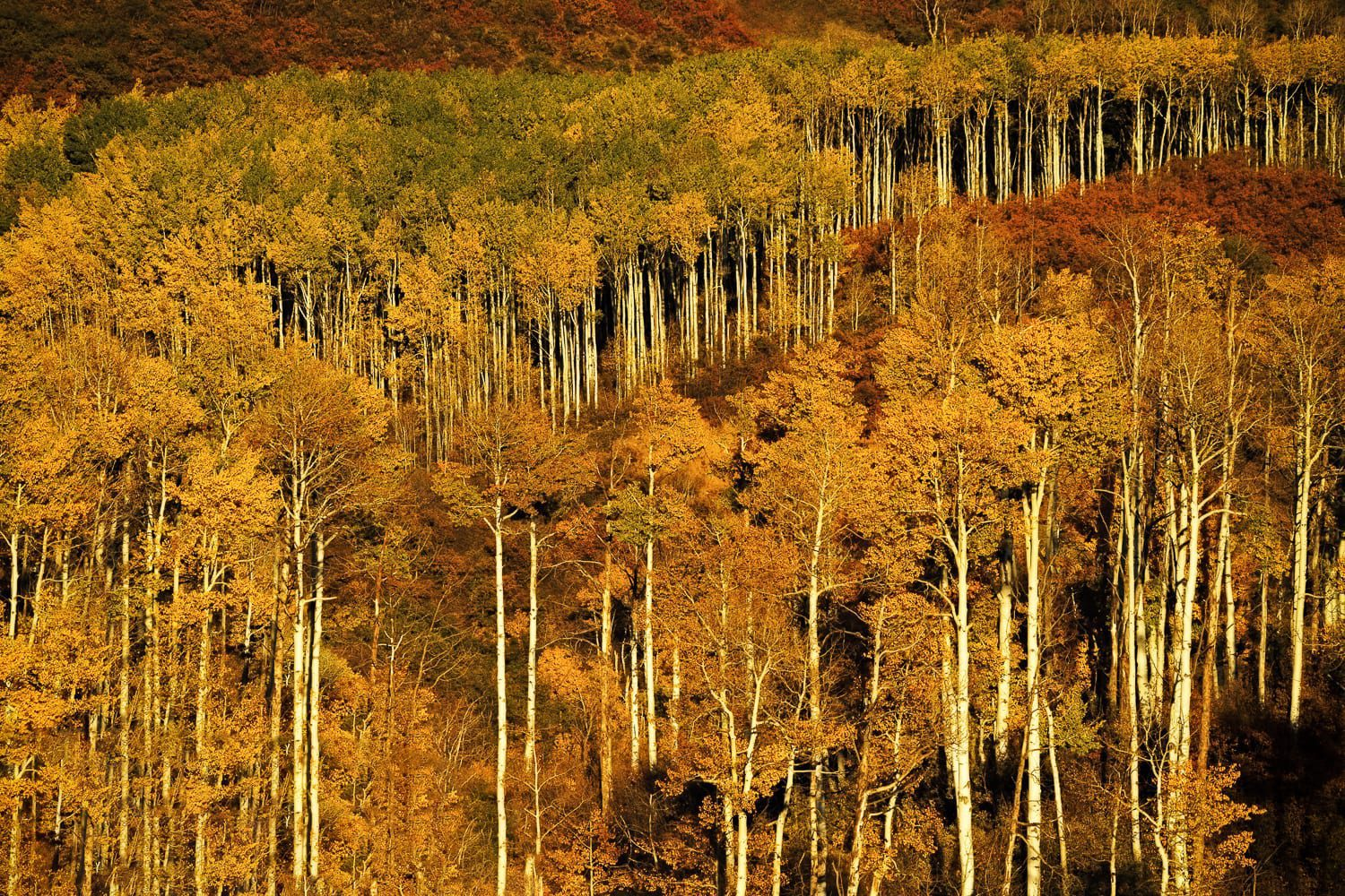 Tall aspen trees in yellow and orange on the side of a hill.