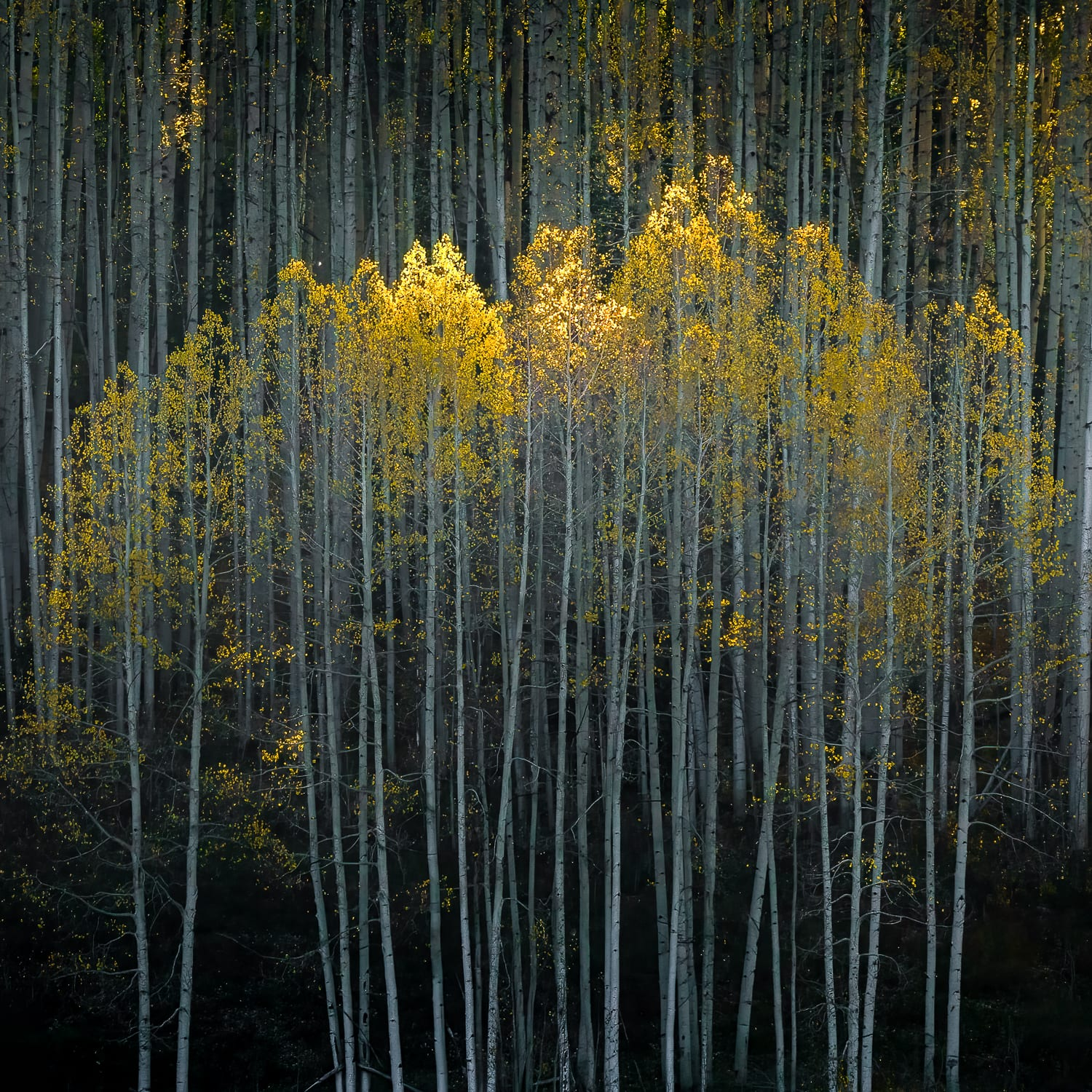 Light on the tips of yellow aspen trees