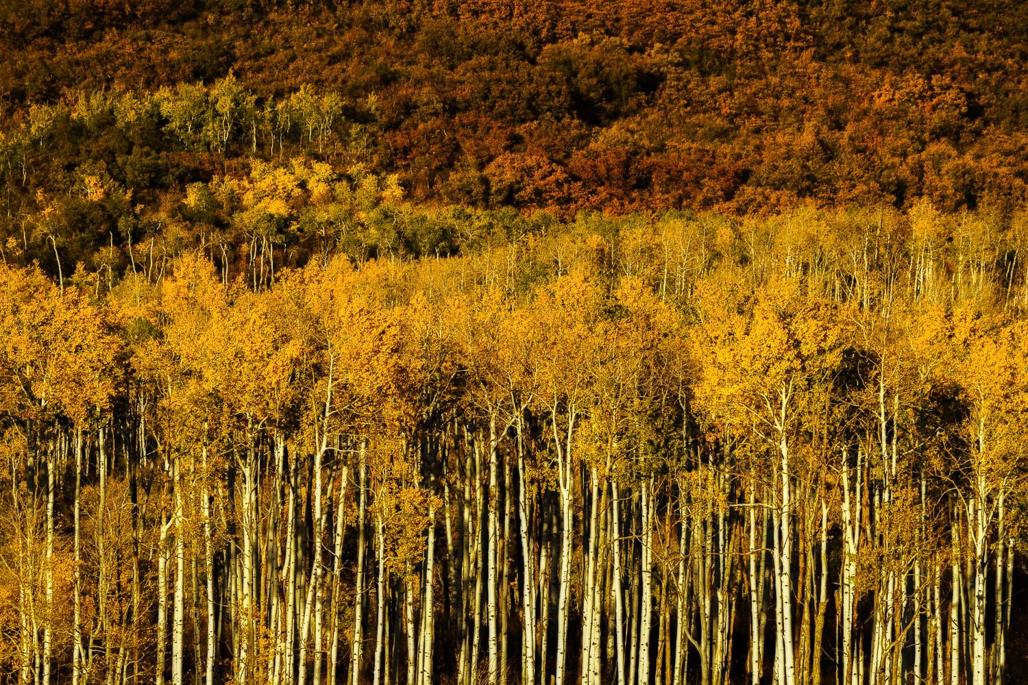 Rust brush and yellow aspens scene