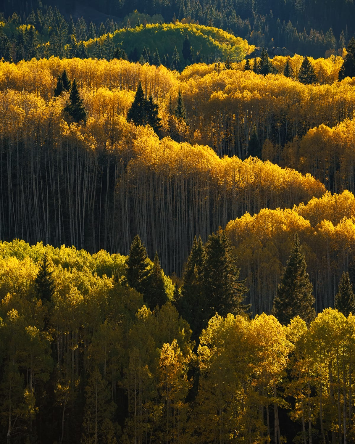 Pine trees and lines of aspen in fall colors