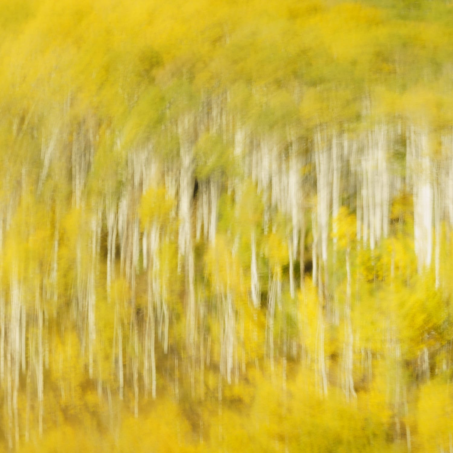 Circular blur of a fall aspen grove