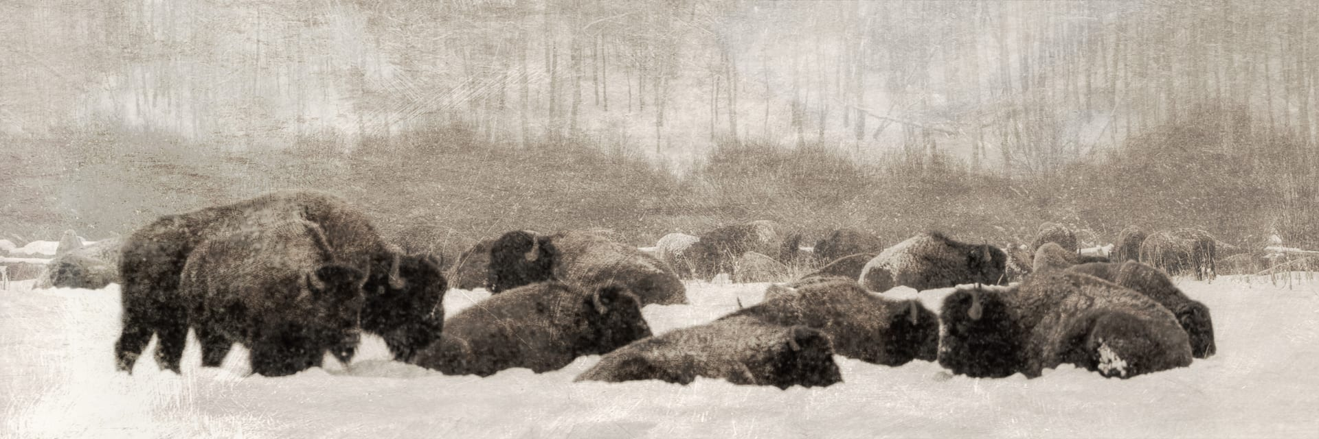 Bison in snow, antique-like photo.