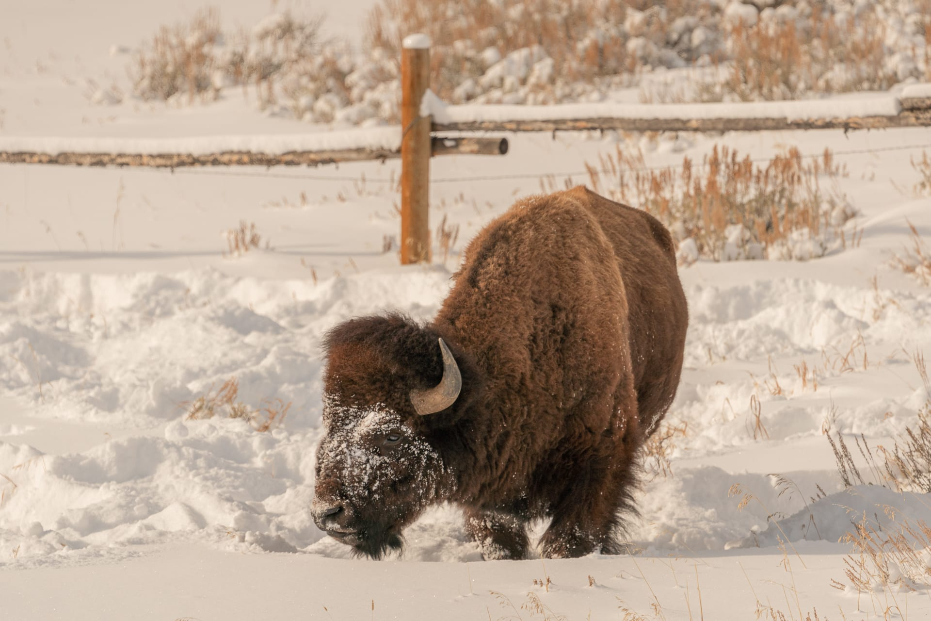 Single bison with snow-crusted face.