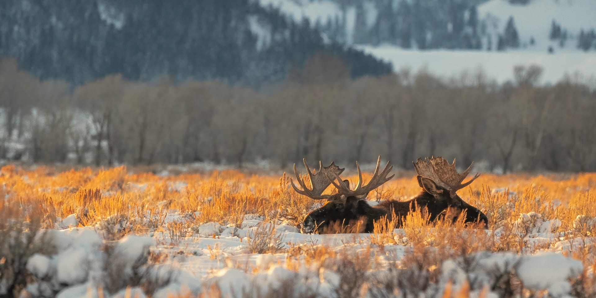 Two moose laying in the brush in afternoon sun.