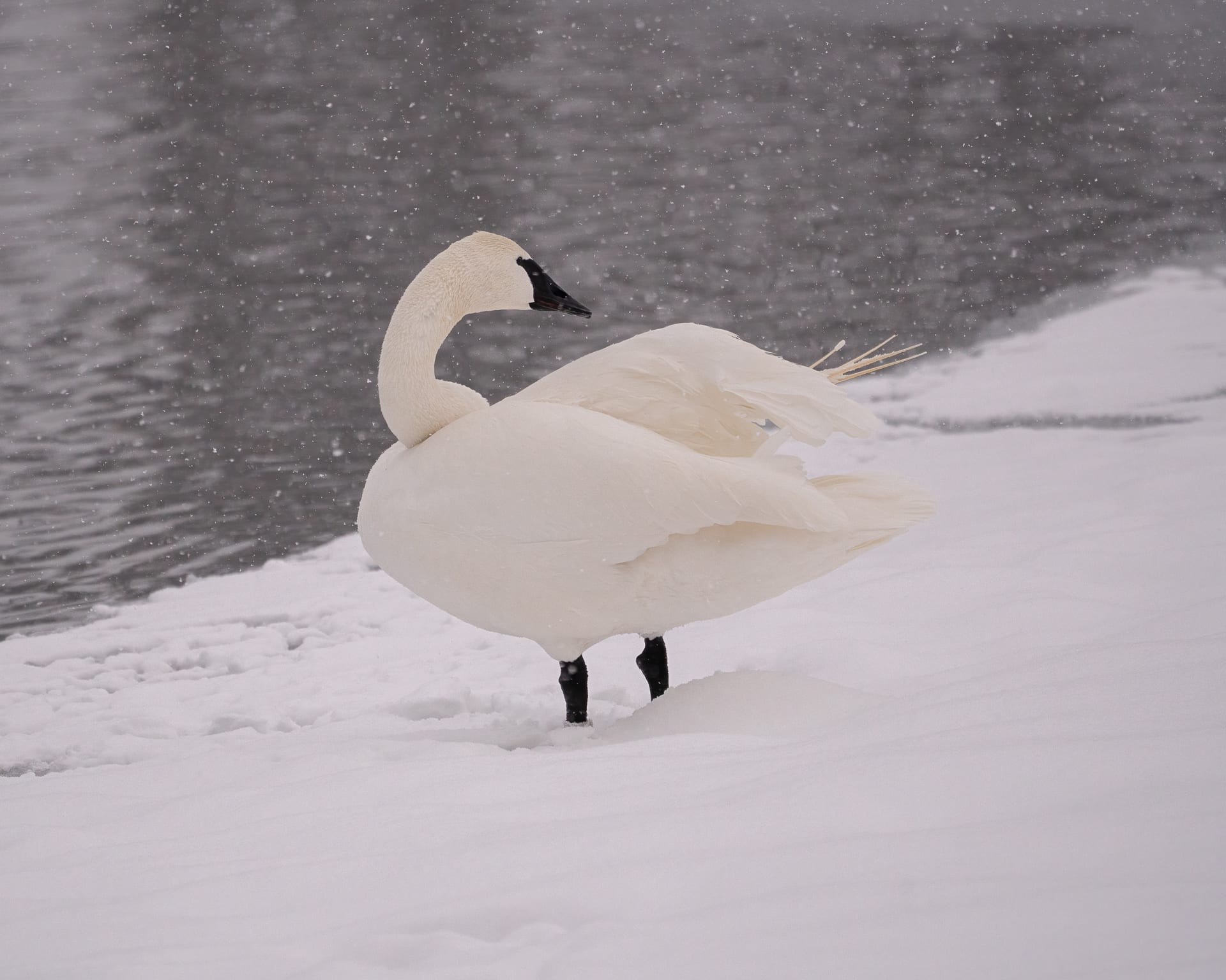 Snowflakes fall on a trumpeter swan.