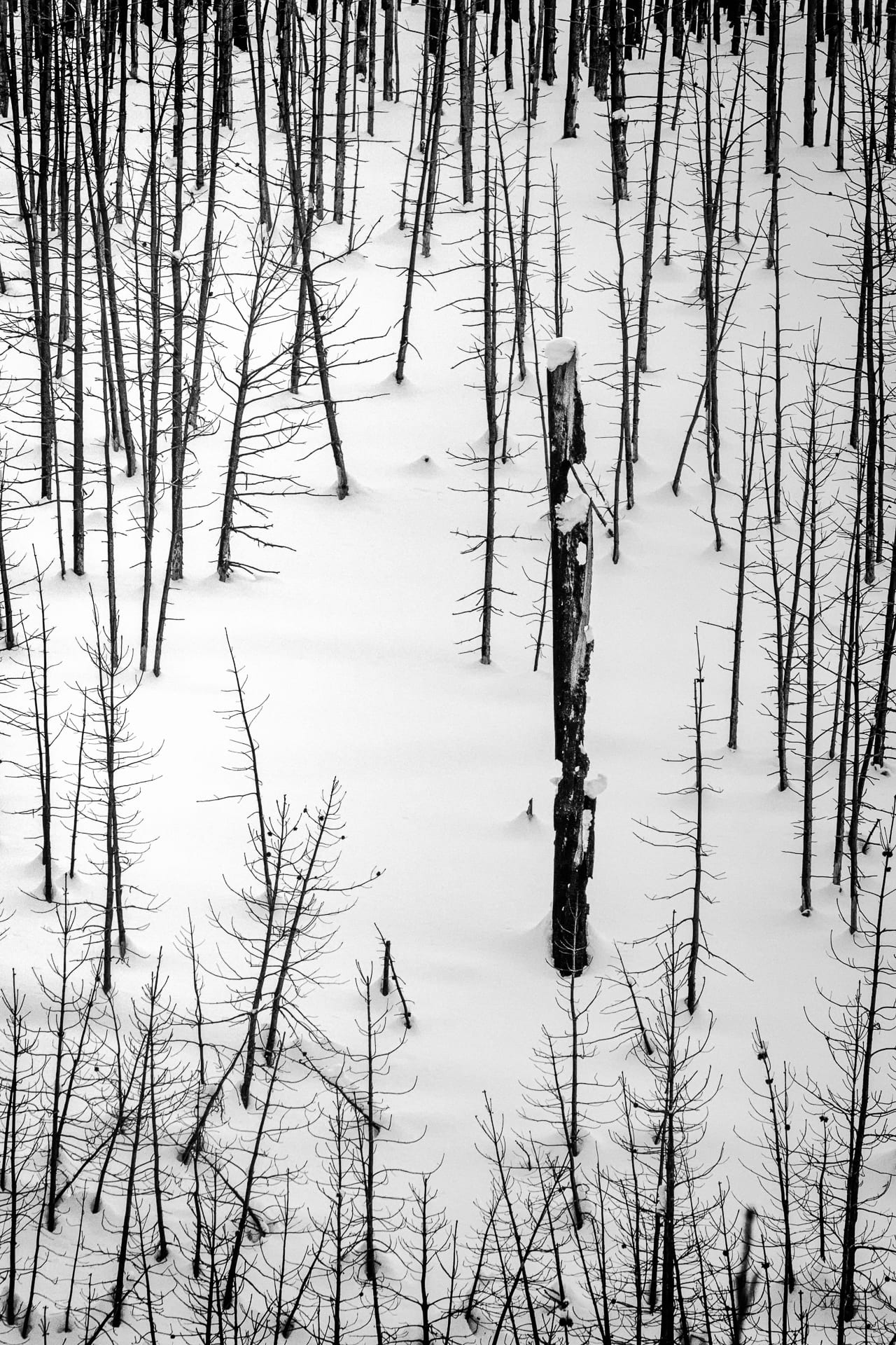Burned forest of trees in snow.
